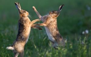 Зайцы деруться