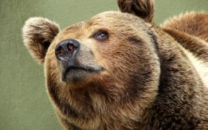 Голова большого медведя