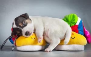 Спящий щенок