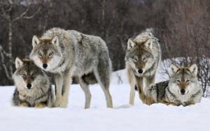 Стая волков