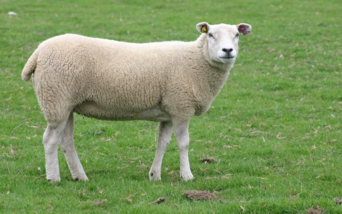 Подстриженная овца