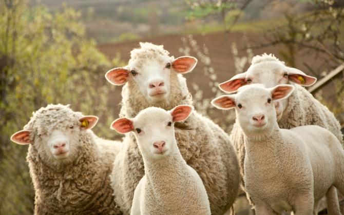 Любопытные овцы