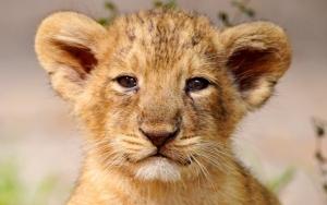 Ушастый львенок