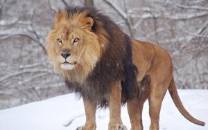 Злой лев зимой