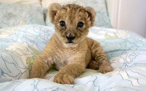 Домашний маленький львенок