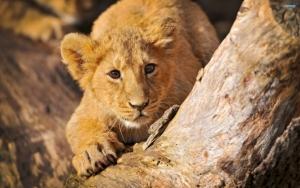 Осторожный львенок