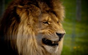 Оскал льва