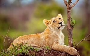 Молодой лев