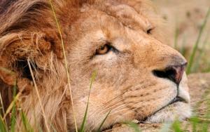 Грустный лев