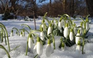 Подснежники ранней весной