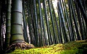 Огромный бамбук