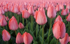 Поляна розовых тюльпанов