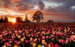 Поле разных тюльпанов