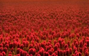Море красных тюльпанов