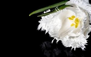 Белый махровый тюльпан