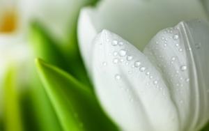 Лепестки белого тюльпана