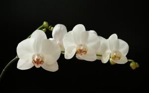 Орхидея на черном фоне