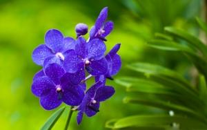 Синяя орхидея