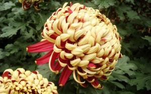 Большая хризантема