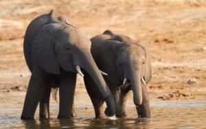 Слонята на водопое