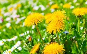 Растения одуванчики