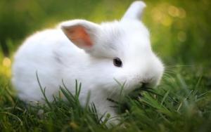 Белый крольчонок