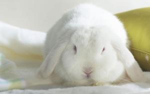 Большой кролик альбинос