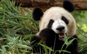 Панда ест