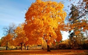 Золотые деревья осенью