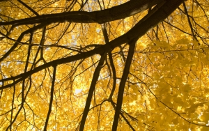 Желтые листья осенью