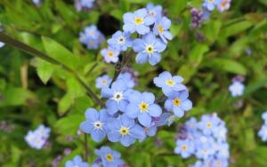 Голубая незабудка