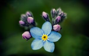 Цветок незабудки