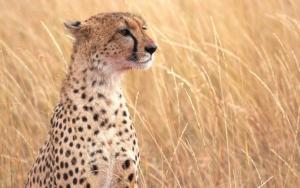 Гепард высматривает добычу