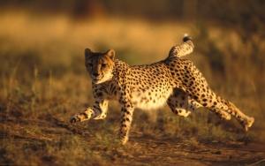 Гепард на бегу