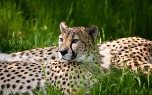 Гепард отдыхает