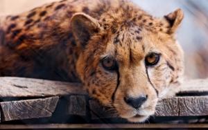 Задумчивый гепард