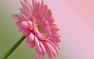 Светло-розовая гербера