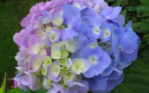 Фиолетово-голубые гортензии