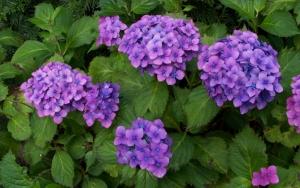 Пурпурная гортензия
