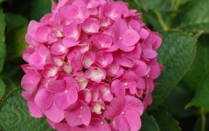 Розовая гортензия