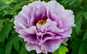 Фиолетовый пион
