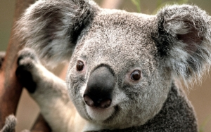 Позитивная коала