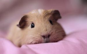 Морская свинка на подушке