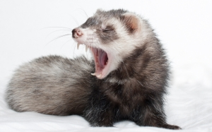 Хорек зевает