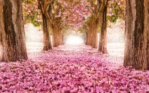 Опавшие цветы сакуры