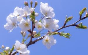 Белая сакура