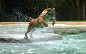Тигр прыгает в воду