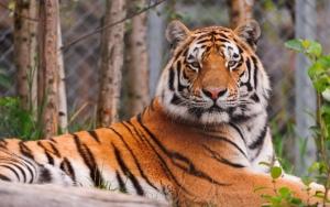 Мощный тигр