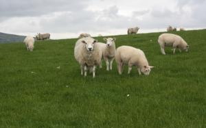 Овцы на траве