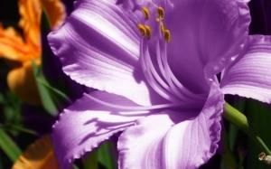 Фиолетовый амариллис